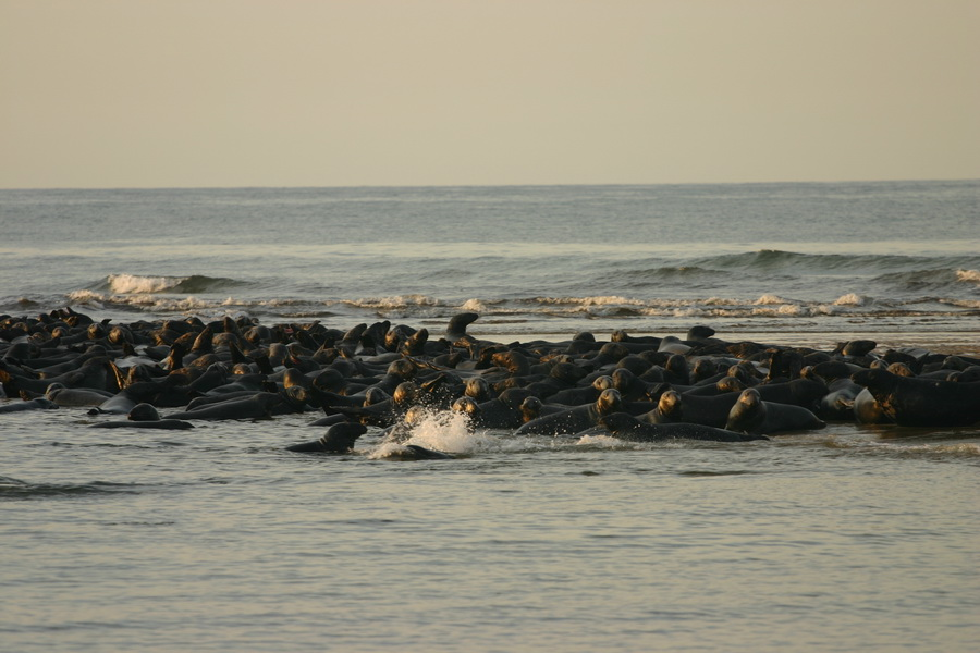 Seals at Head of the Meadow Beach